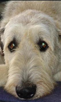 Irish Wolfhound Wallpapers screenshot 1