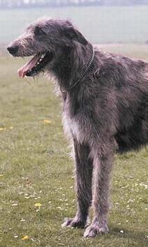 Irish Wolfhound Wallpapers screenshot 2