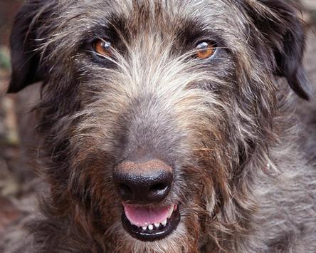 Irish Wolfhound Wallpapers apk screenshot