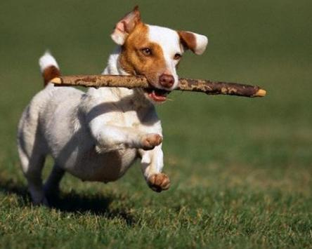 Jack RussellTerrier Wallpapers apk screenshot