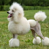 Poodle Wallpapers icon