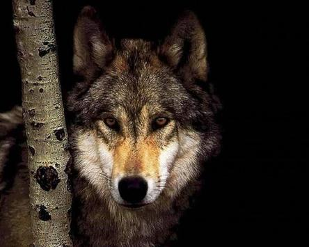 Wolves Live HD Pictures Wallp apk screenshot