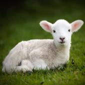 Farm Animal Sounds icon