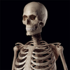 ikon Human Skeleton Reference Guide