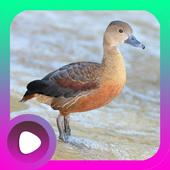 Kicau Burung Belibis icon