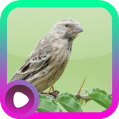 Kicau Burung Blackthroat icon