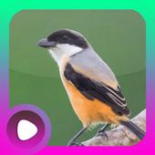 Kicau Burung Cendet icon