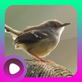 Kicau Burung Ciblek icon