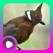 Kicau Burung Cililin icon