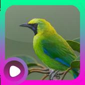 Kicau Burung Cucak Ijo icon