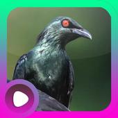 Kicau Burung Cucak Keling icon