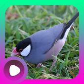 Suara Burung Gelatik icon