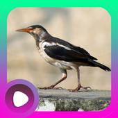 Kicau Burung Jalak Suren icon