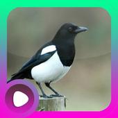 Kicau Burung Kacer icon