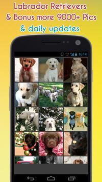 Labrador Retriever Wallpaper poster