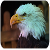 Bald Eagle sounds icon