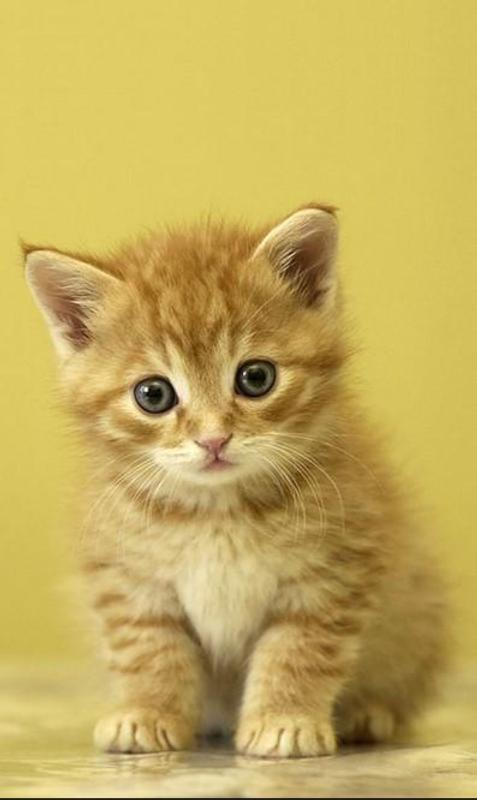 Free Cute Cat Wallpaper Hd For Android Fur Android Apk Herunterladen
