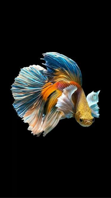 Free Betta Fish Live Wallpaper For Android For Android Apk Download Betta fish wallpaper gif betta fish 3d