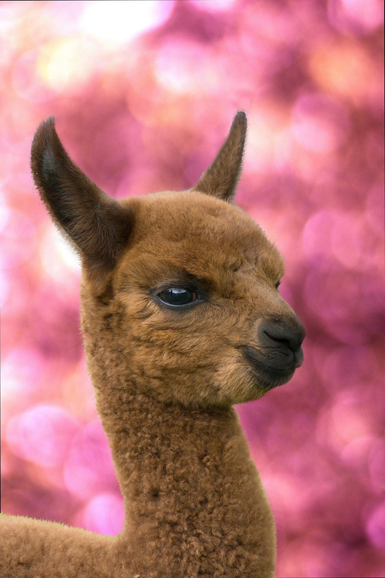 Alpaca Wallpaper Hd For Android Apk Download