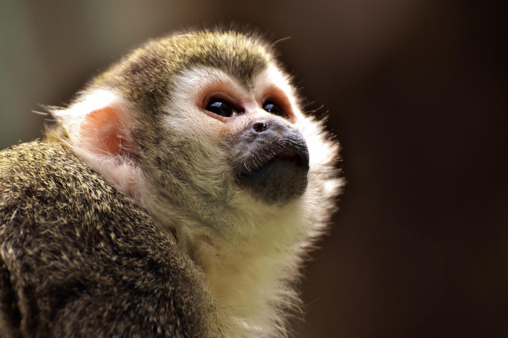 Capuchin Monkey Wallpaper Hd For Android Apk Download