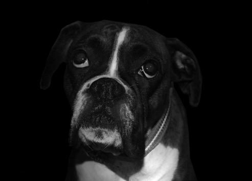 boxer dog wallpaper hd for android apk download