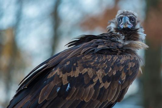 Black Vulture Wallpaper HD poster