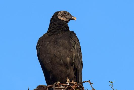 Black Vulture Wallpaper HD screenshot 1