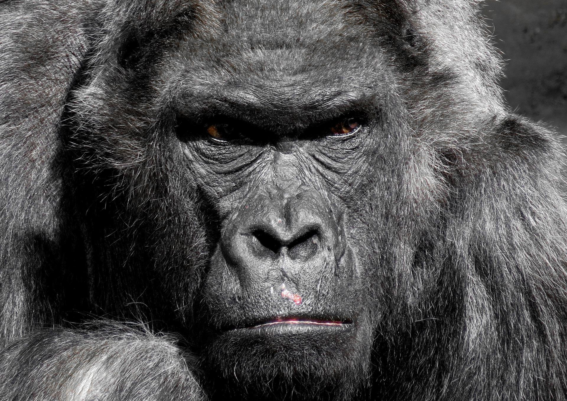 Gorilla Wallpaper Hd For Android Apk Download
