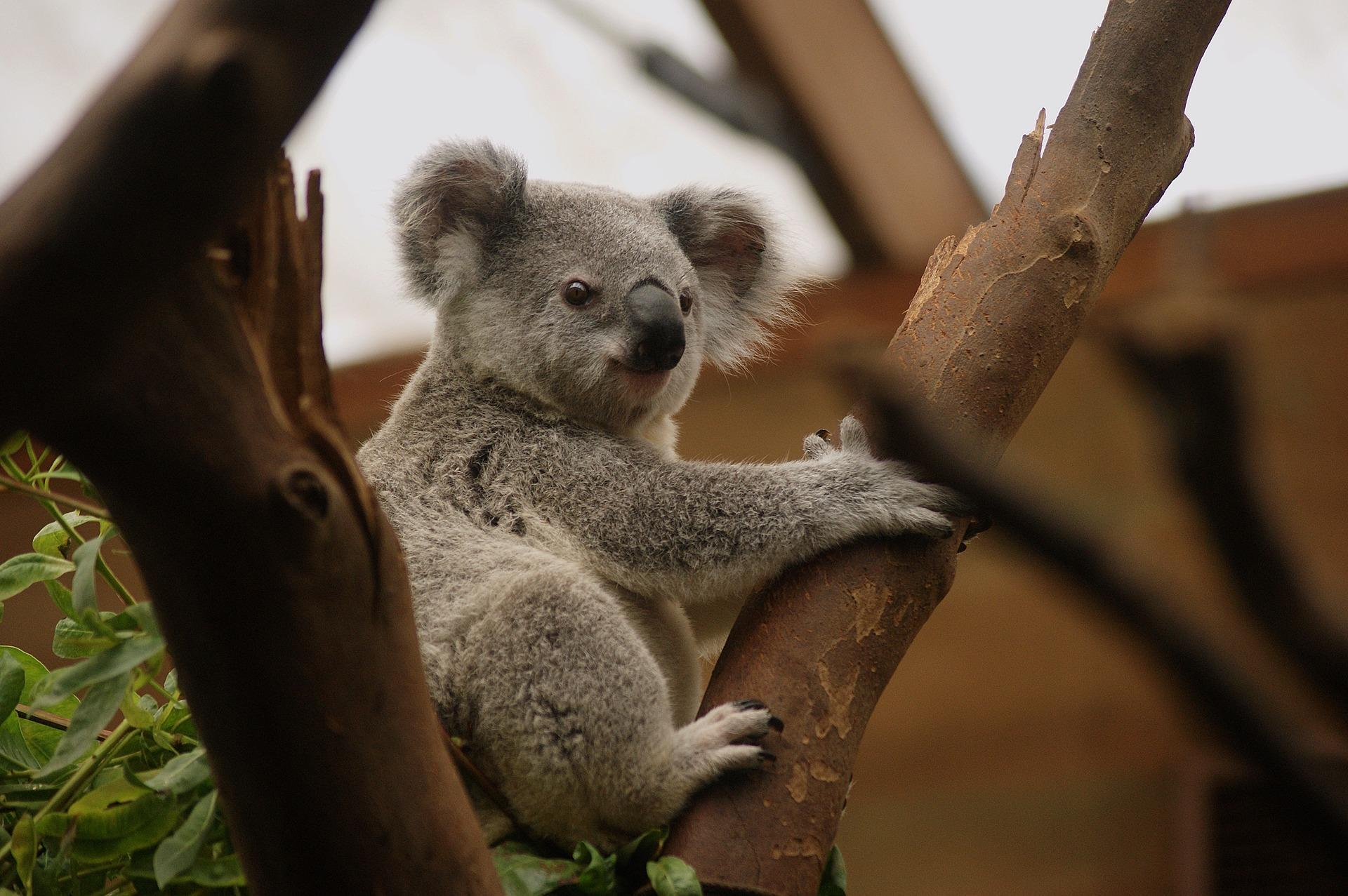 Koala Wallpaper Hd For Android Apk Download