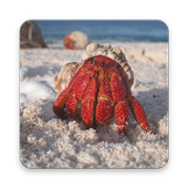 Hermit Crab Wallpapers HD icon
