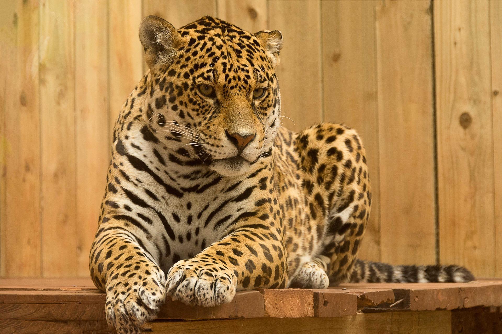 Jaguar Wallpaper Hd For Android Apk Download