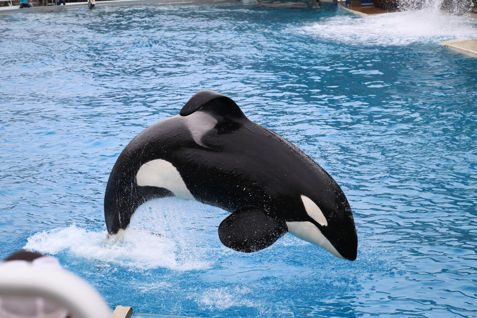 Orca Wallpaper Hd For Android Apk Download