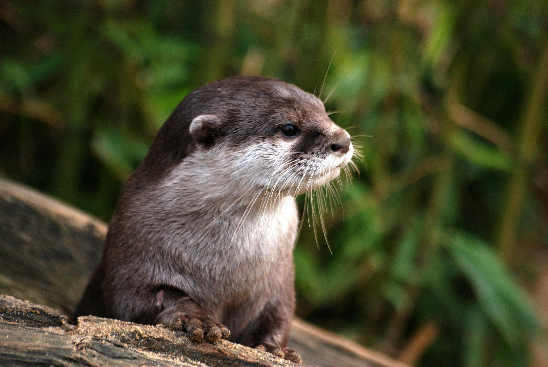 Otter Wallpaper Hd For Android Apk Download