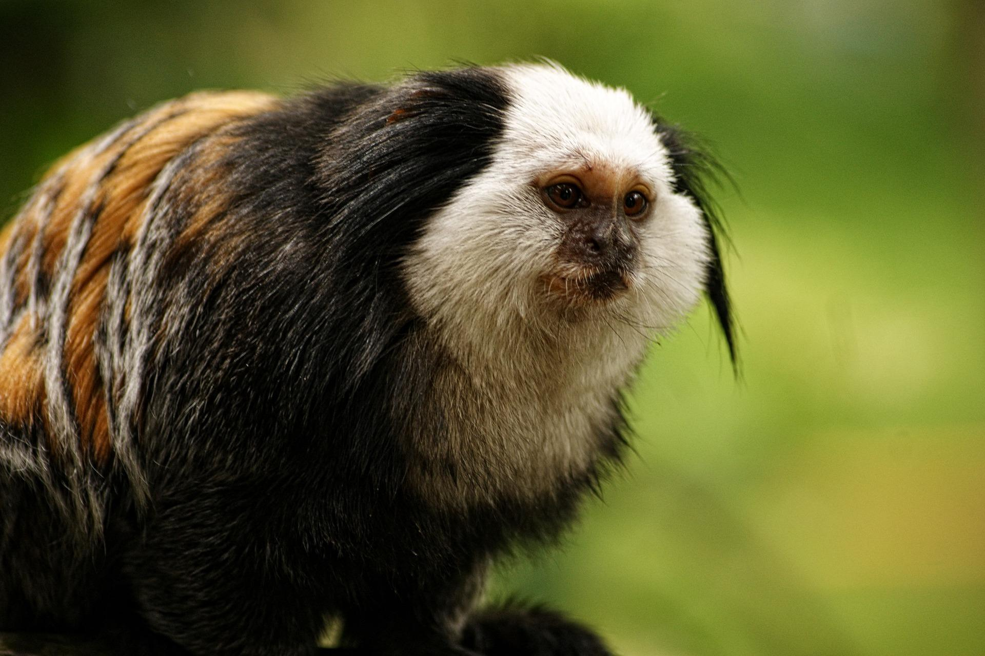 Monkey Wallpaper Hd For Android Apk Download