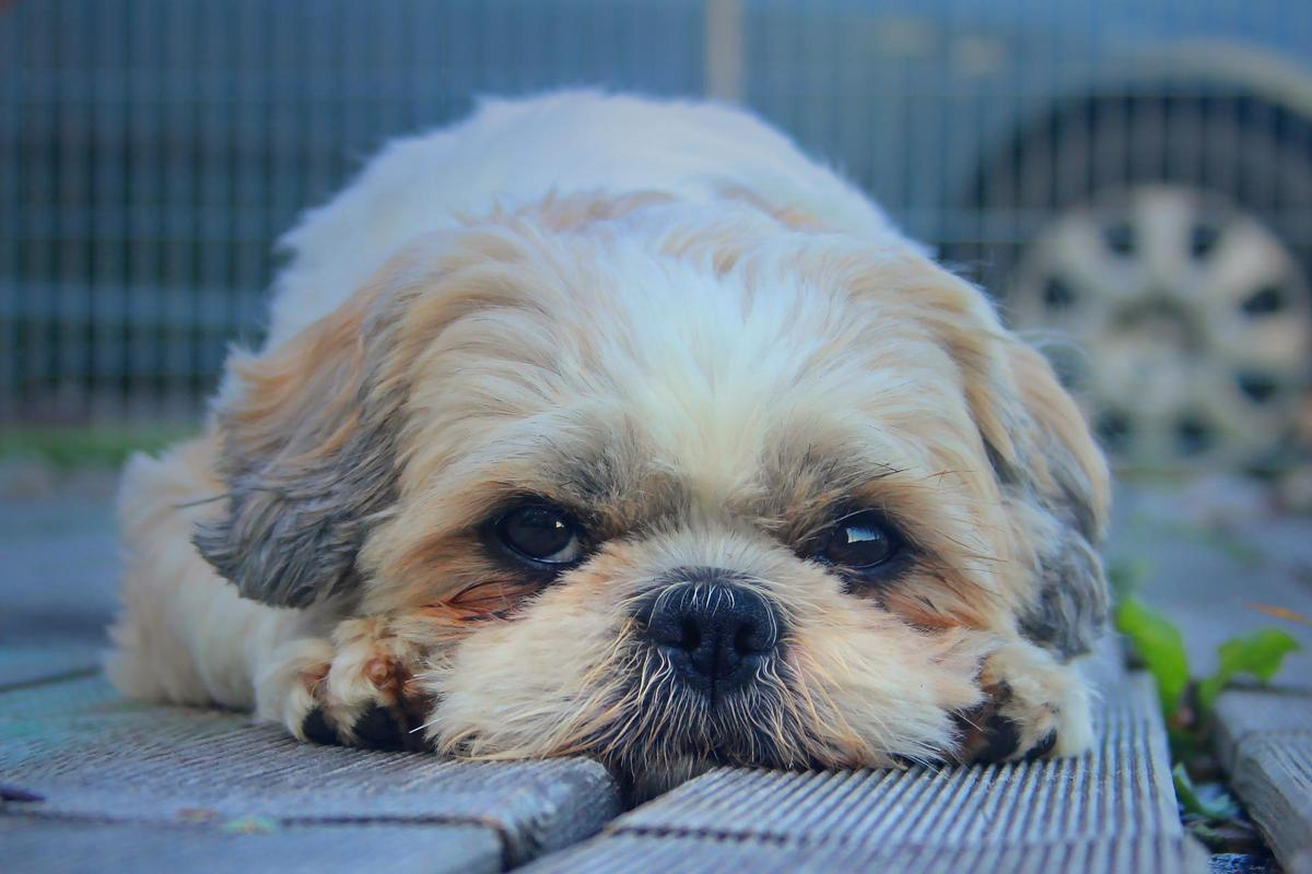 Shih Tzu Dog Wallpaper Hd For Android Apk Download