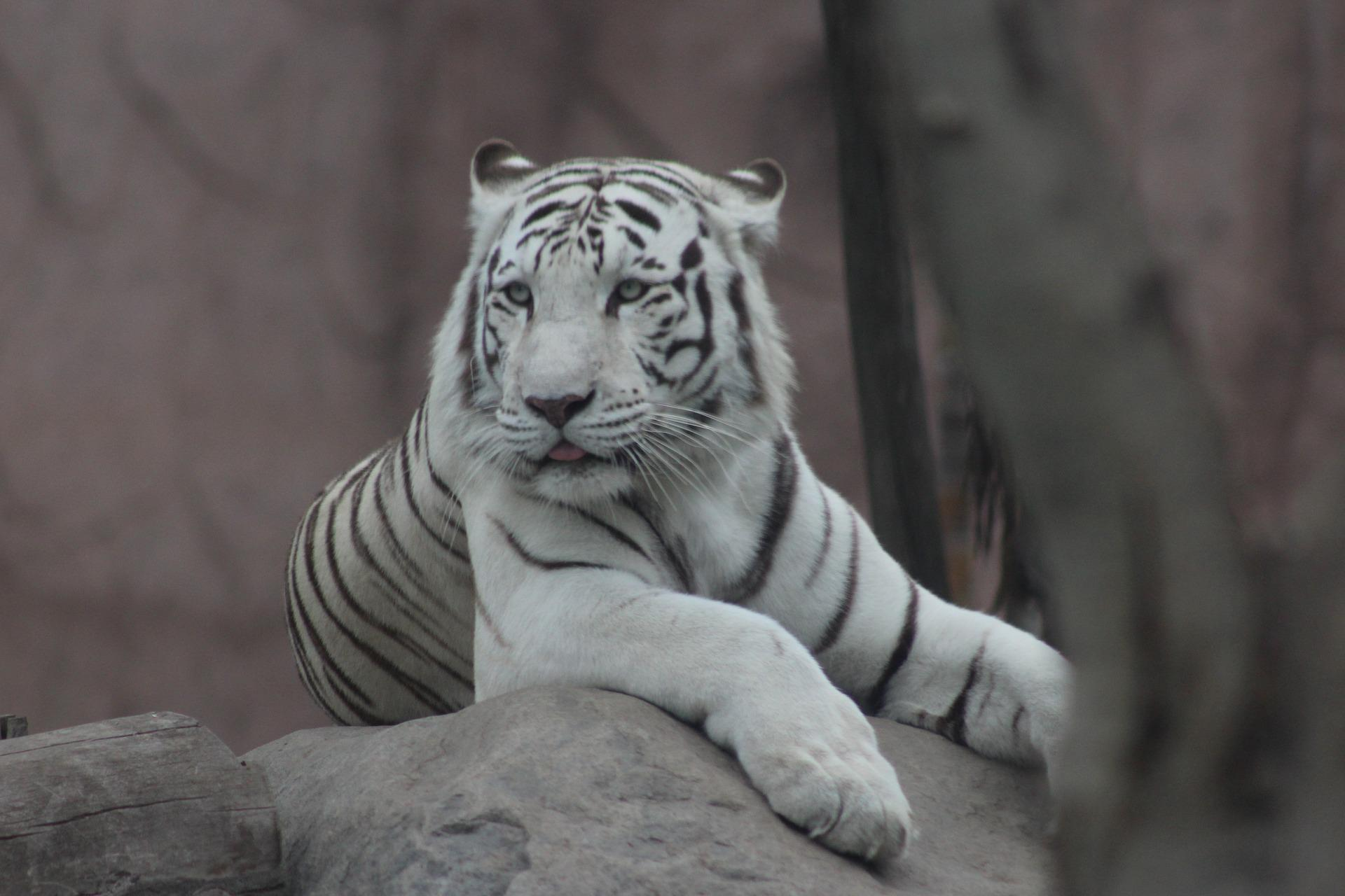 White Tiger Wallpaper Hd For Android Apk Download