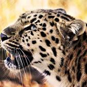 Leopard Wallpaper Pictures HD Images Free Photos icon