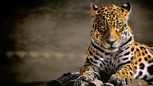 Leopard Wallpaper Pictures HD Images Free Photos screenshot 10