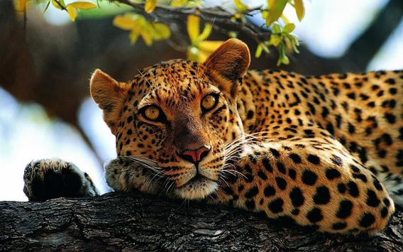 Leopard Wallpaper Pictures HD Images Free Photos screenshot 11