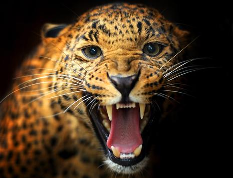 Leopard Wallpaper Pictures HD Images Free Photos screenshot 19