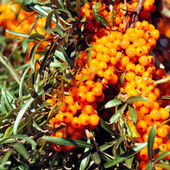 Sea Buckthorn Wallpapers icon