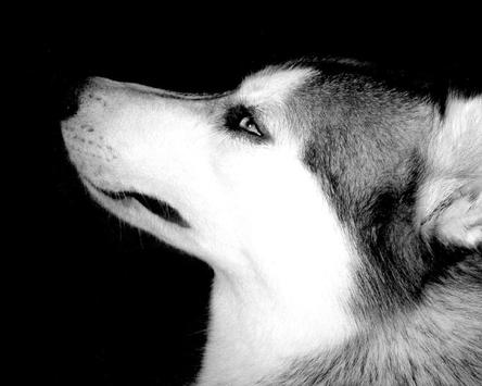 Siberian Husky Dogs Hd Wallpapers Theme For Android Apk Download