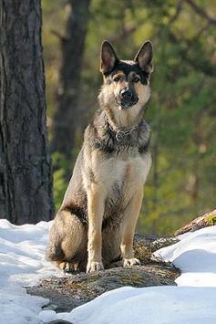 German Shepherd Wallpapers and Photos apk screenshot