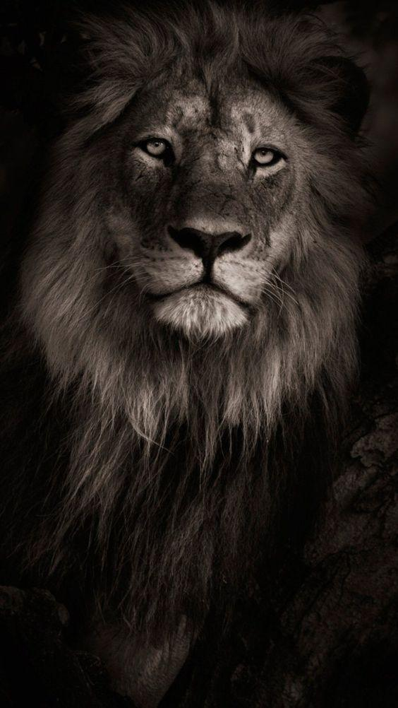 Lion Wallpaper For Android Apk Download