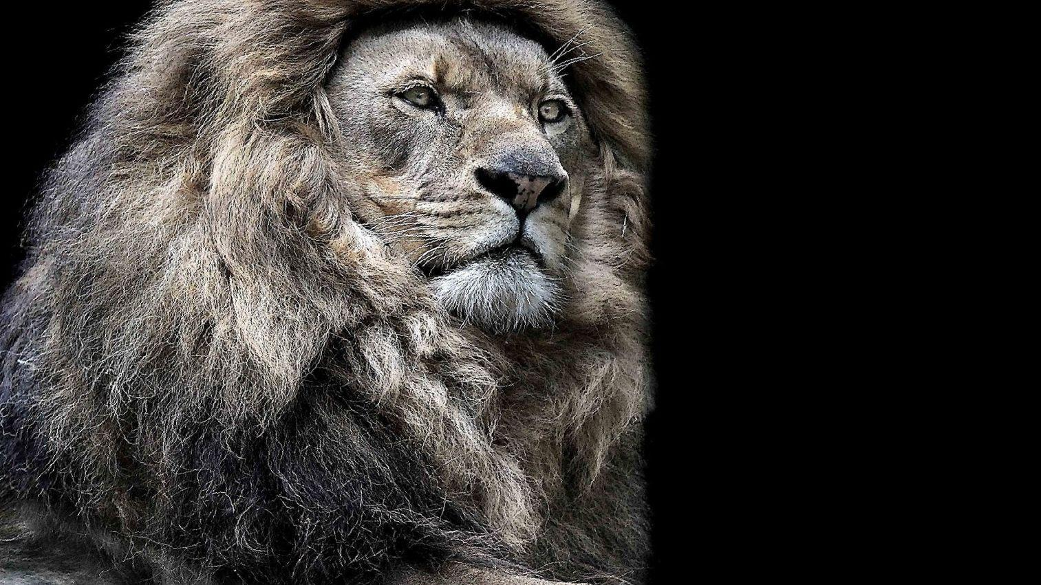 Lion Wallpaper Pictures Hd Images Free Photos 4k For Android Apk