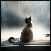 Siamese Cats Videos icon