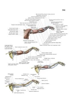 Анатомия силовых упражнений poster