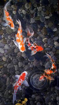 live koi pond wallpaper poster