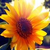 live wallpaper sunflower icon