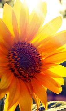 live wallpaper sunflower poster